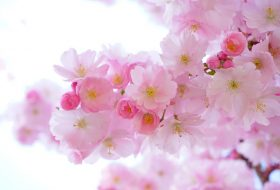 An image of a pink Japanese cherry tree in a wedding setting.